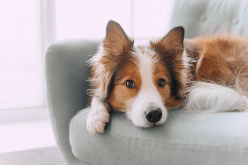 Pies leżący na fotelu, a także najpiękniejsze rasy psów na świecie