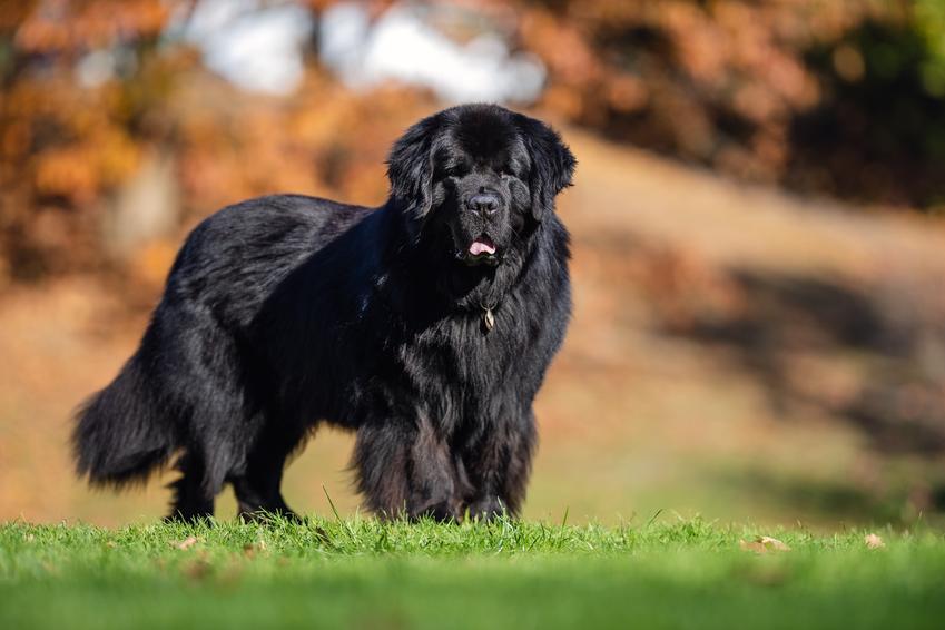 Pies rasy nowofunland na spacerze, a także inne najpiękniejsze rasy psów na świecie