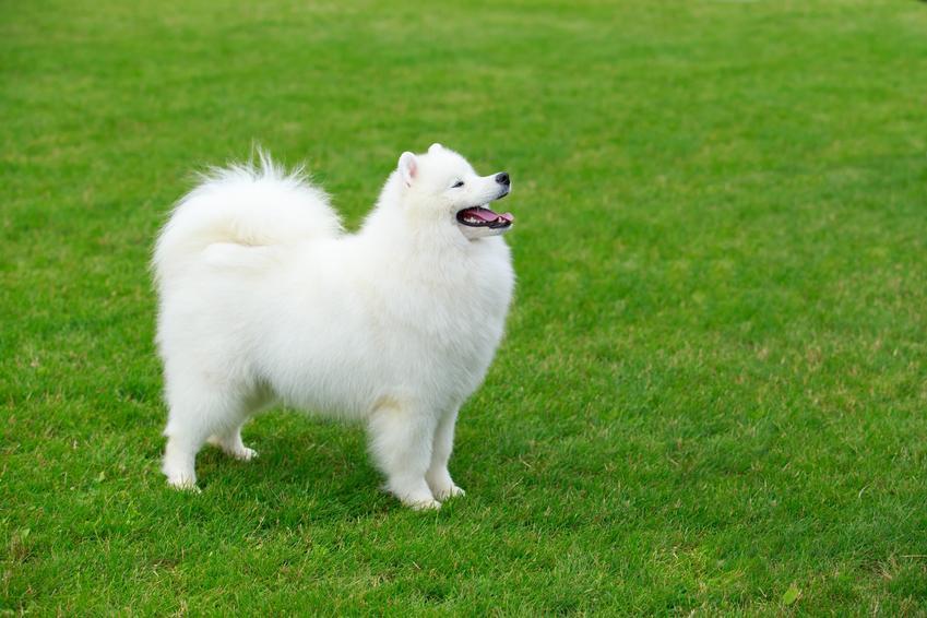 Pies rasy samoyed na tle zieleni, a także inne najpiękniejsze rasy psów na świecie
