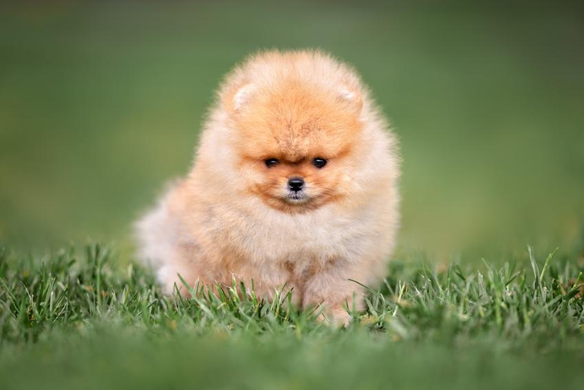 Pies rasy szpic miniaturowy na tle zieleni, a także inne najpiękniejsze rasy psów na świecie