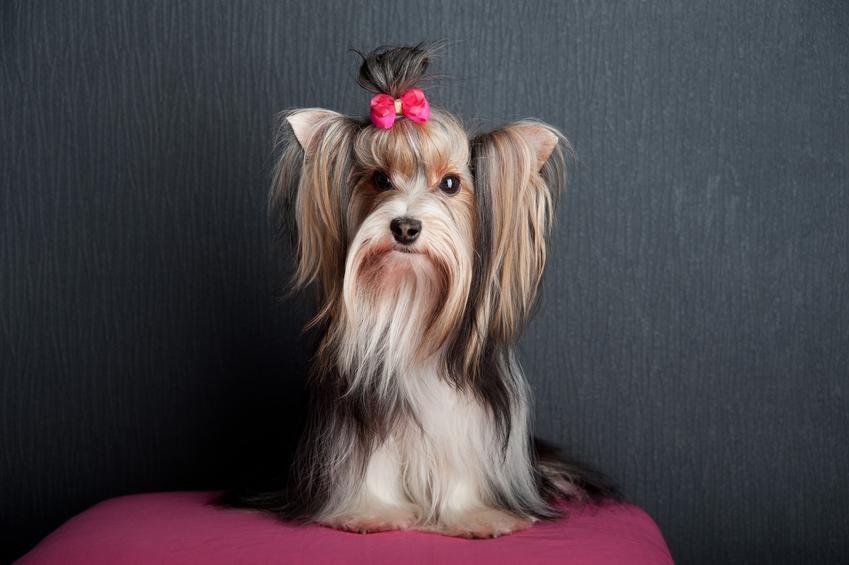 Pies rasy yorkshiere terrier na czarnym tle, a także inne najpiękniejsze rasy psów na świecie