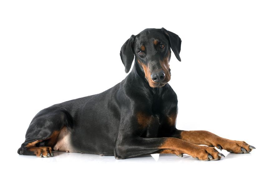 Pies rasy doberman oraz najinteligentniejsze i najmądrzejsze rasy psów świata