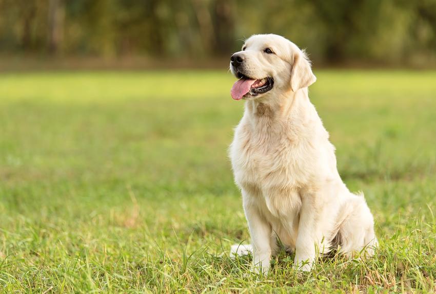 Pies rasy golden retriever oraz najinteligentniejsze i najmądrzejsze rasy psów świata