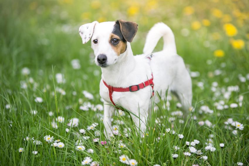 Pies rasy jack russel terrier oraz najinteligentniejsze i najmądrzejsze rasy psów świata