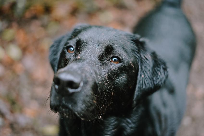 Pies rasy labrador retriever oraz najinteligentniejsze i najmądrzejsze rasy psów świata