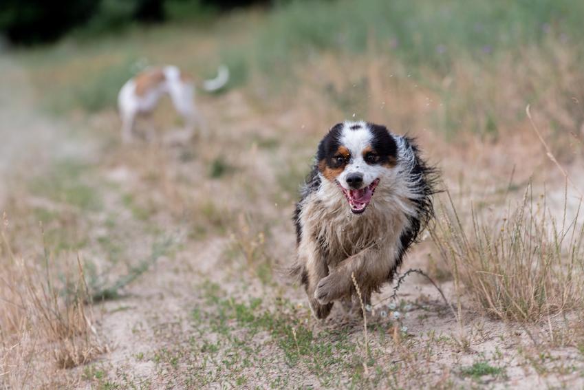 Pies rasy owczarek australijski oraz najinteligentniejsze i najmądrzejsze rasy psów świata