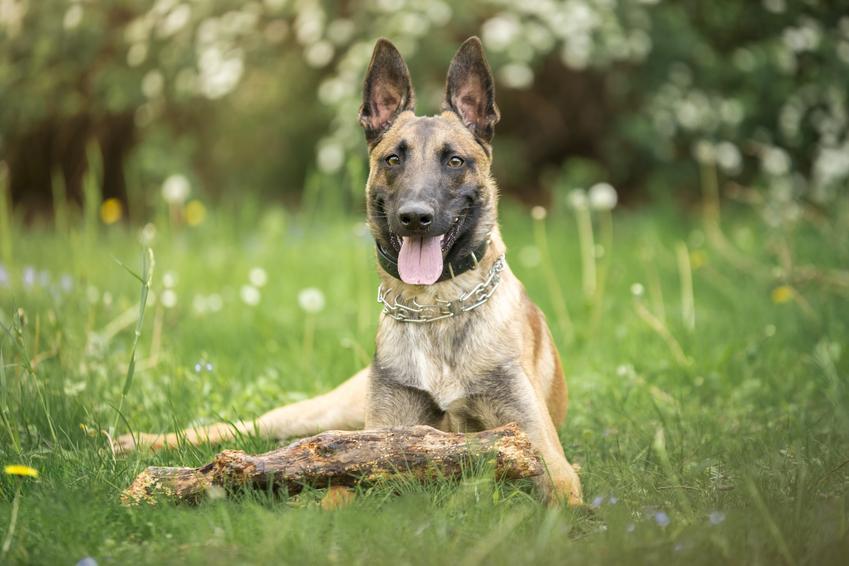 Pies rasy owczarek belgijski oraz najinteligentniejsze i najmądrzejsze rasy psów świata