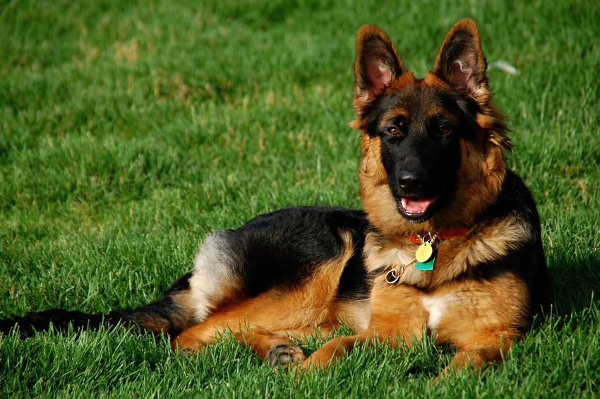 Pies rasy owczarek niemiecki oraz najinteligentniejsze i najmądrzejsze rasy psów świata