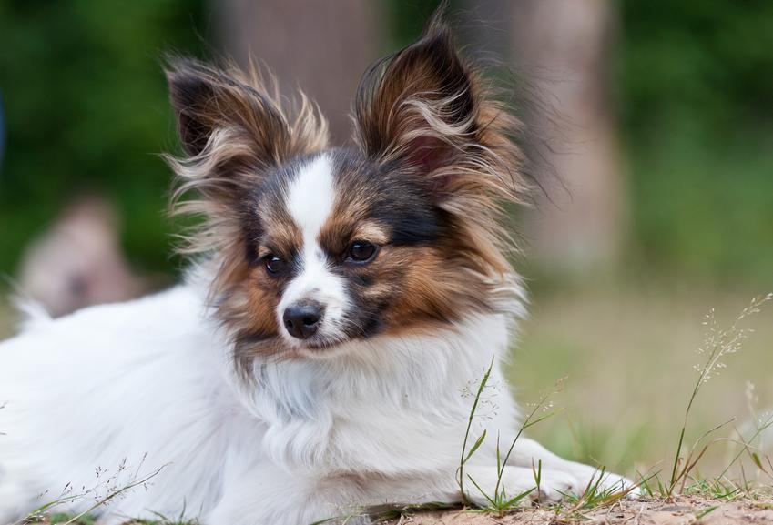 Pies rasy pappilon oraz najinteligentniejsze i najmądrzejsze rasy psów świata