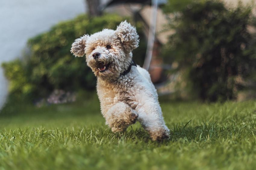 Pies rasy pudel miniaturowy oraz najinteligentniejsze i najmądrzejsze rasy psów świata