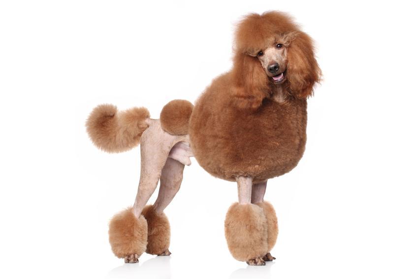 Pies rasy pudel olbrzym oraz najinteligentniejsze i najmądrzejsze rasy psów świata