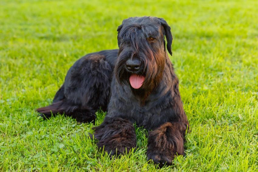Pies rasy sznaucer na tle trawnika oraz najinteligentniejsze i najmądrzejsze rasy psów świata