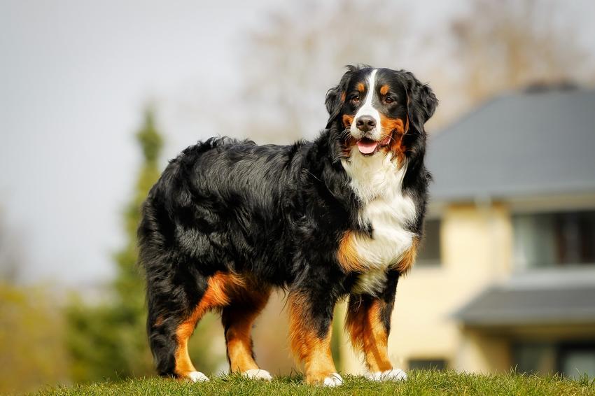 Pies rasy berneński pies pasterski, a także najpopularniejsze rasy psów na świecie i w Polsce
