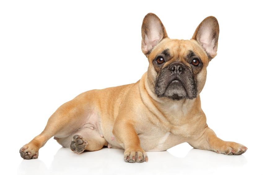 Pies rasy buldog francuski, a także najpopularniejsze rasy psów na świecie i w Polsce