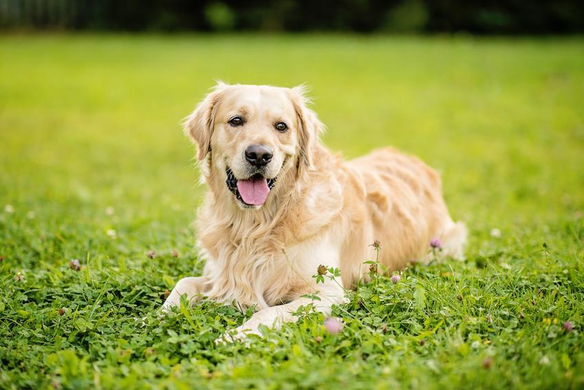 Pies rasy golden retriever, a także najpopularniejsze rasy psów na świecie i w Polsce