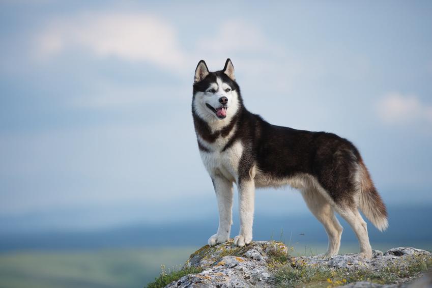 Pies rasy husky syberyjski, a także najpopularniejsze rasy psów na świecie i w Polsce