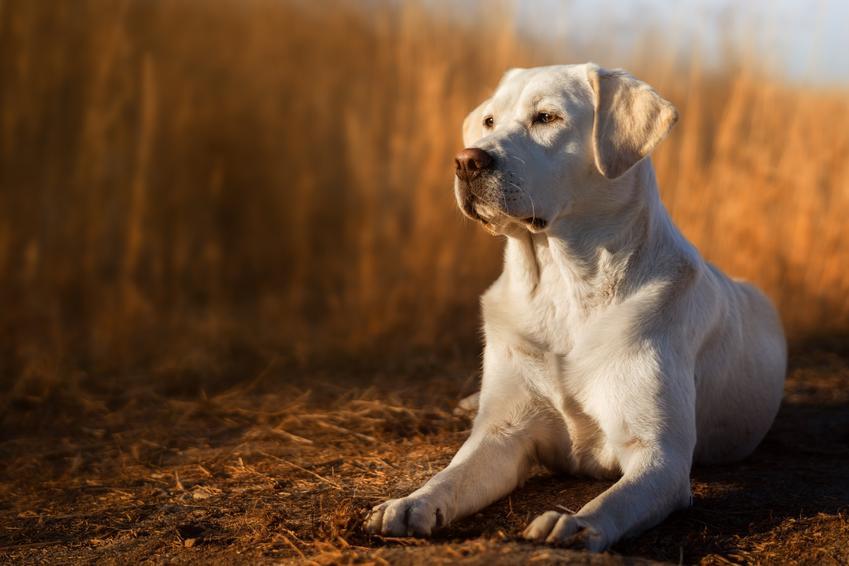 Pies rasy labrador retriever, a także najpopularniejsze rasy psów na świecie i w Polsce