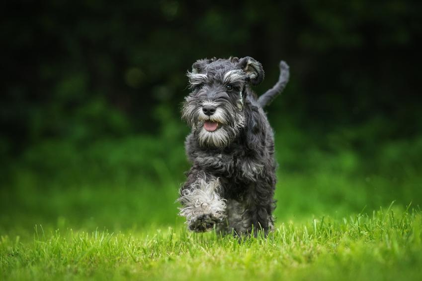 Pies rasy sznaucer miniaturowy, a także najpopularniejsze rasy psów na świecie i w Polsce
