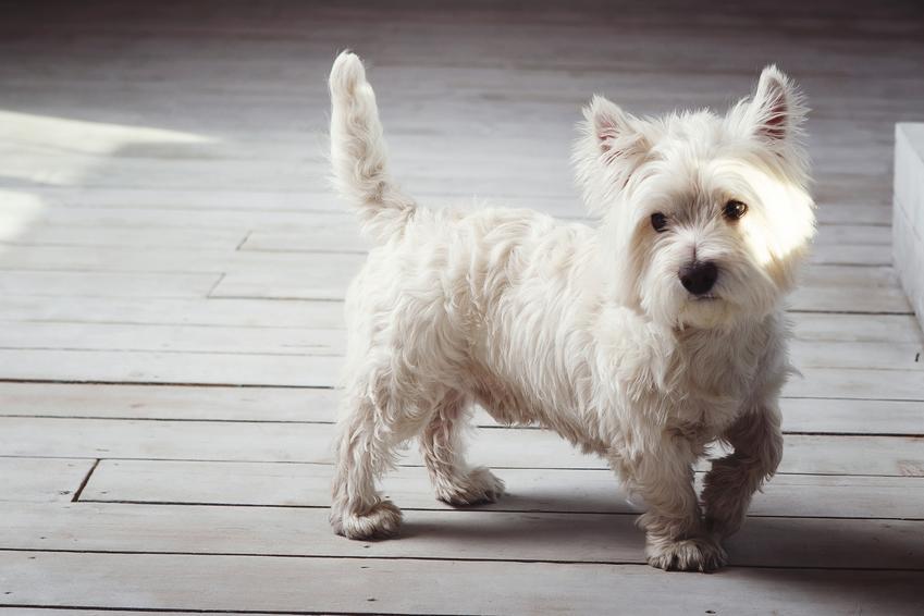 Pies rasy west highland white terrier, a także najpopularniejsze rasy psów na świecie i w Polsce