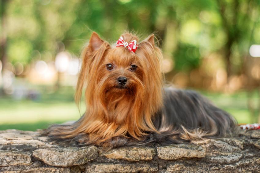 Pies rasy yorkshiere terrier, a także najpopularniejsze rasy psów na świecie i w Polsce