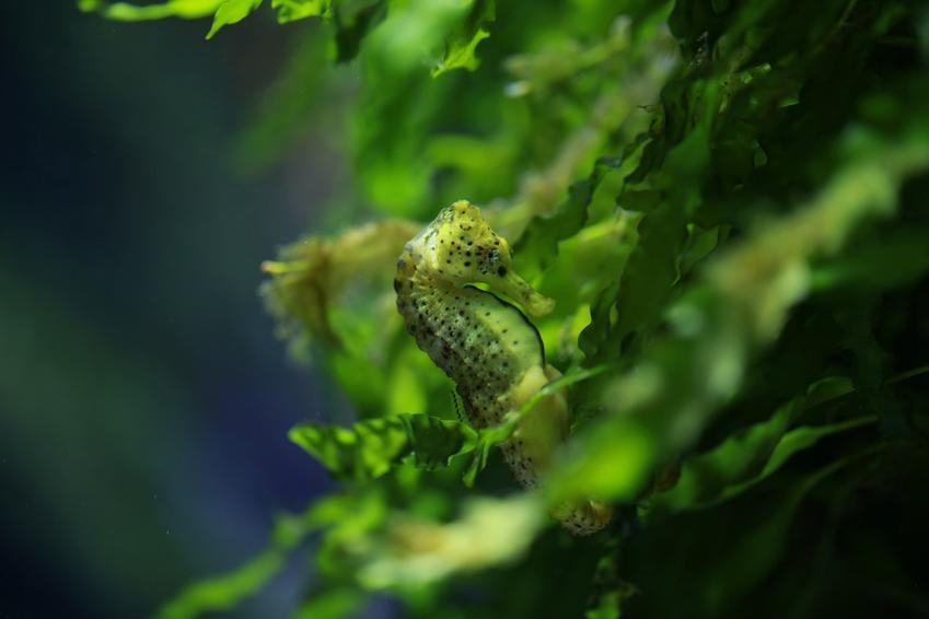 Konik morski wodny w akwarium, a także informacje i ciekawostki o konikach morskich