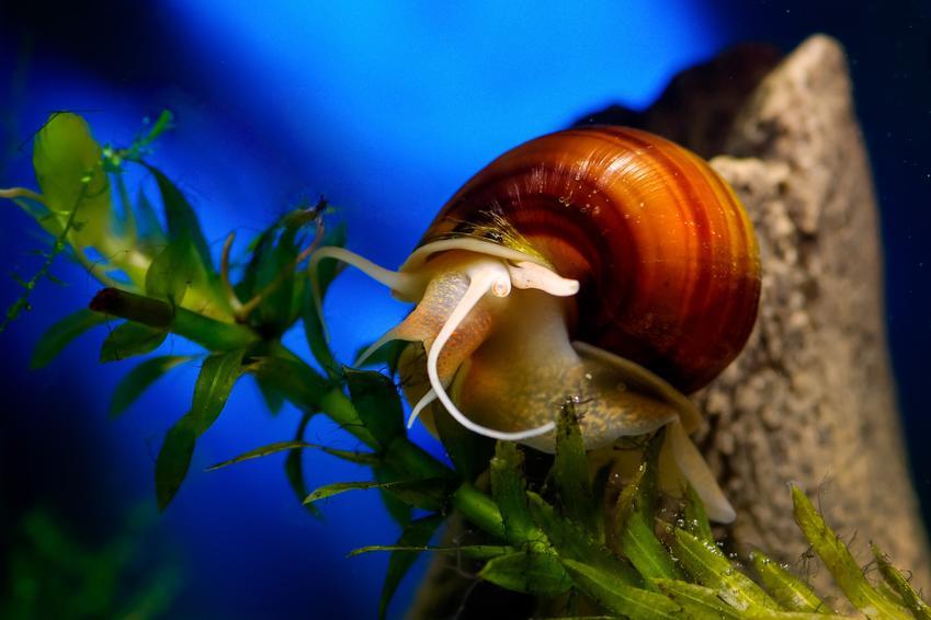 Ślimak w akwarium na niebieskim tle oraz ślimaki w akwarium i ich rodzaje