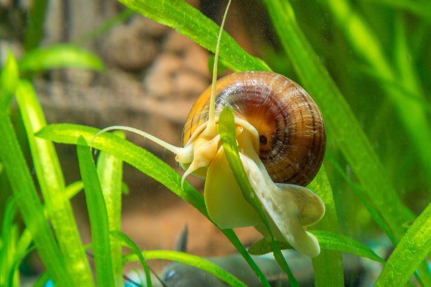 Ślimak w akwarium na zielonej roślinie oraz ślimaki w akwarium i ich rodzaje