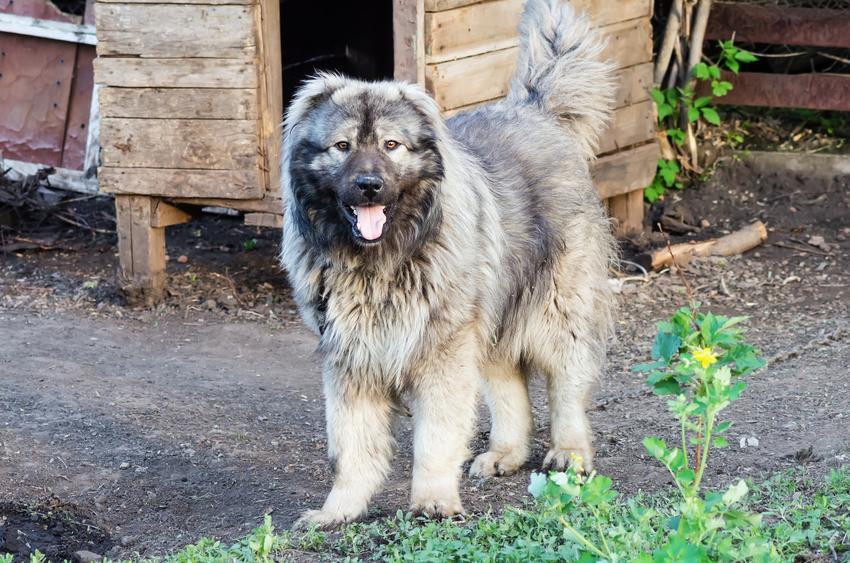 Pies rasy owczarek kaukaski stojący przed budą, a także cena owczarka kaukaskiego