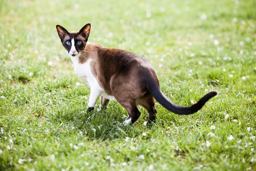 Kot orientalny krótkowłosy na tle trawnika, a także jego hodowla i cena
