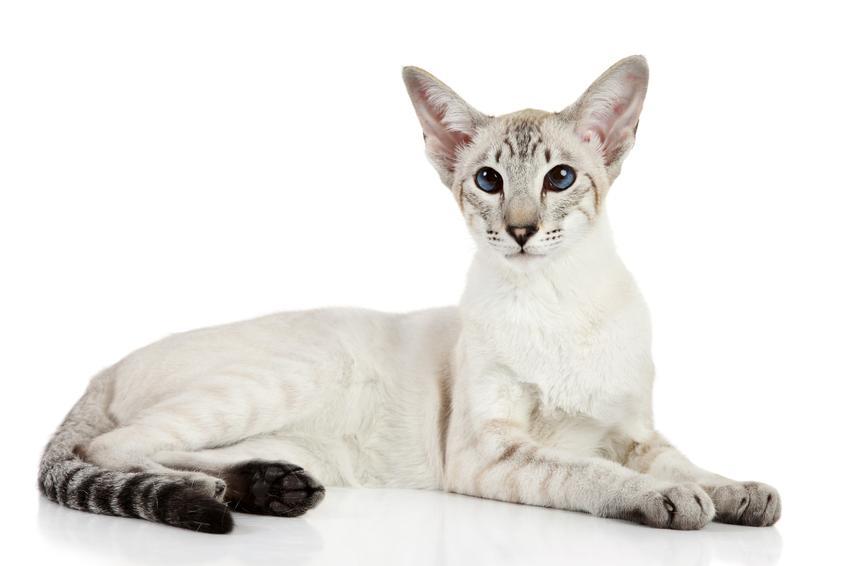 Kot orientalny krótkowłosy na białym tle, a także jego charakter i wychowanie