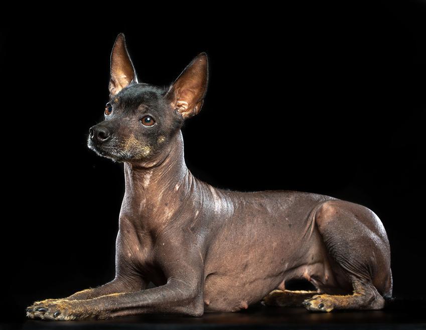 Pies rasy nagi pies meksykański na czarnym tle, a także jego charakter i cena