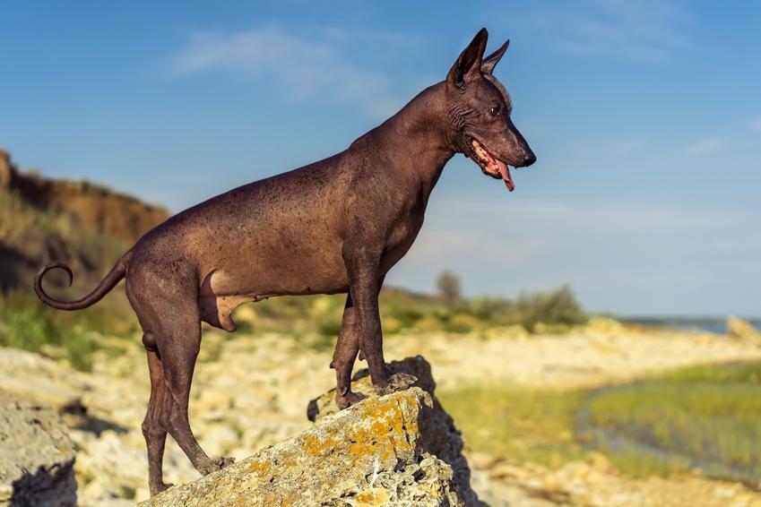 Pies rasy nagi pies meksykański na tle nieba, a także jego opis i charakter