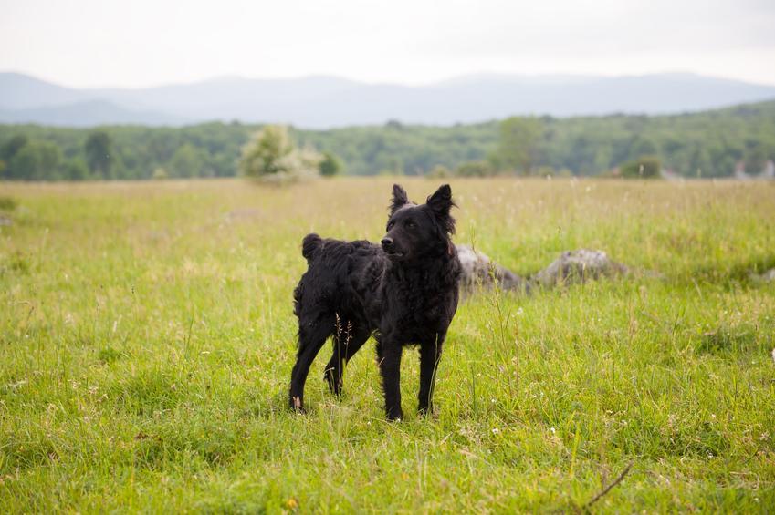 Pies rasy owczarek chorwacki czarny na tle zieleni oraz jego hodowla i cena