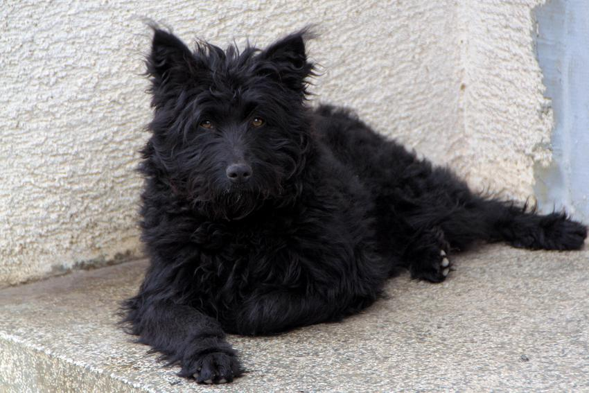 Czarny pies rasy owczarek chorwacki na progu domu oraz jego hodowla i cena