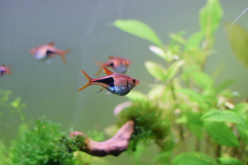 Ryby razbora klinowa w akwarium wśród roślinek, a także ich rozmnażanie i cechy