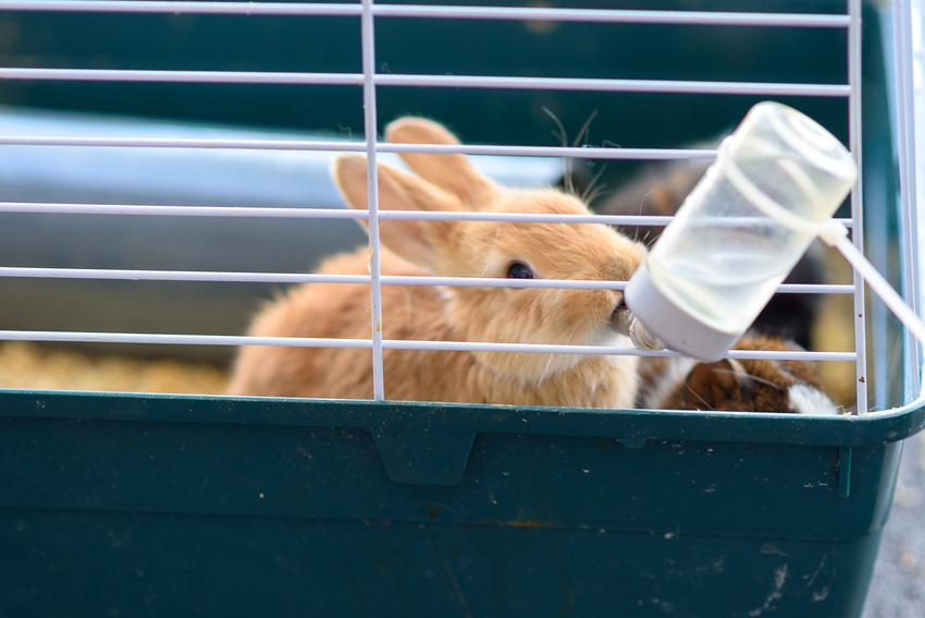 Królik pijący z poidełka, a także polecane poidła dla królików i ich rodzaje