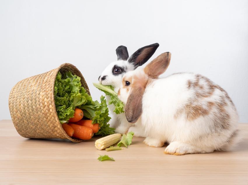 Królik wyjadający warzywa z koszyka, a także jedzenie i karma dla królika