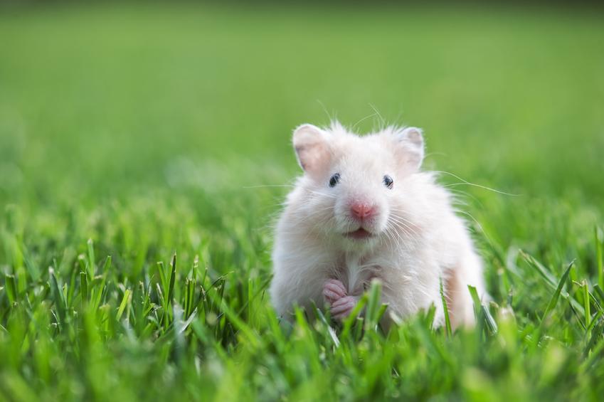 Chomik siedzący w trawniku, a także długość życia, czyli ile żyje chomik