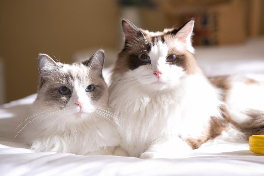 Dwa koty rasy ragdoll siedzące na łóżku, a także opinie o ragdoll