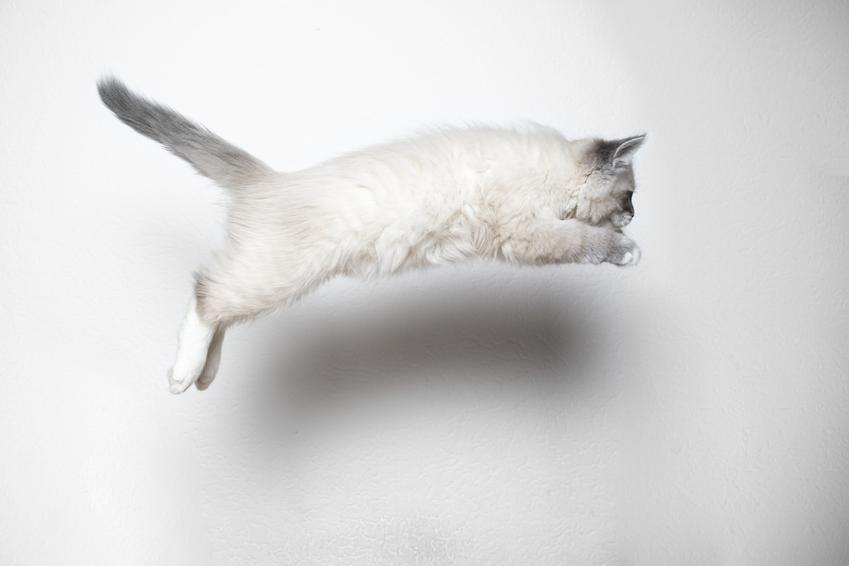 Kot rasy ragdoll na tle ściany wykonujący skok, a także opinie o ragdoll