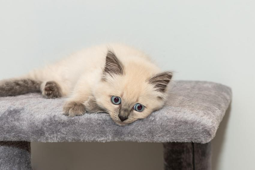 Kot rasy ragdoll leżący na drapaku, a także cechy rasy i waga ragdoll