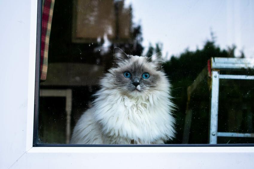 Kot rasy ragdoll wyglądający przez okno oraz opis rasy i waga ragdoll