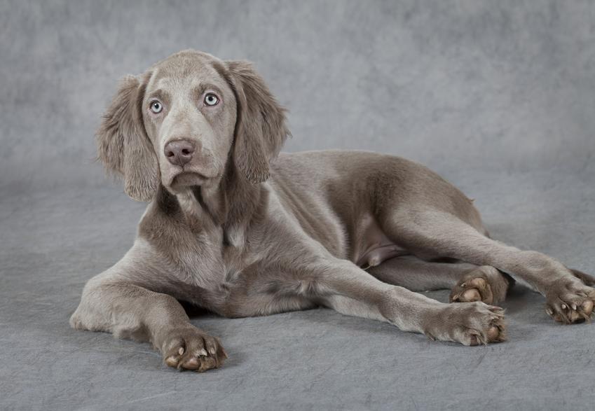 Pies rasy wyżeł weimarski długowłosy leżący na szarym tle oraz cena i hodowla