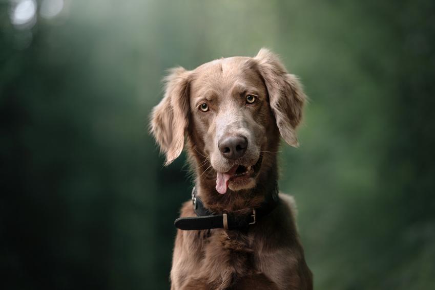 Pies rasy wyżeł weimarski długowłosy na tle zieleni, a także jego charakter i hodowla
