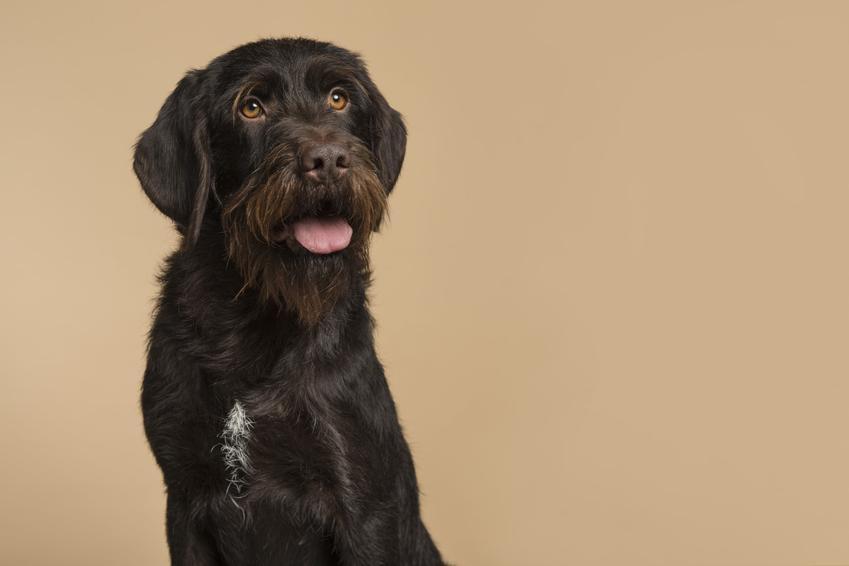 Pies rasy czeski fousek na beżowym tle, a także jego charakter i cena