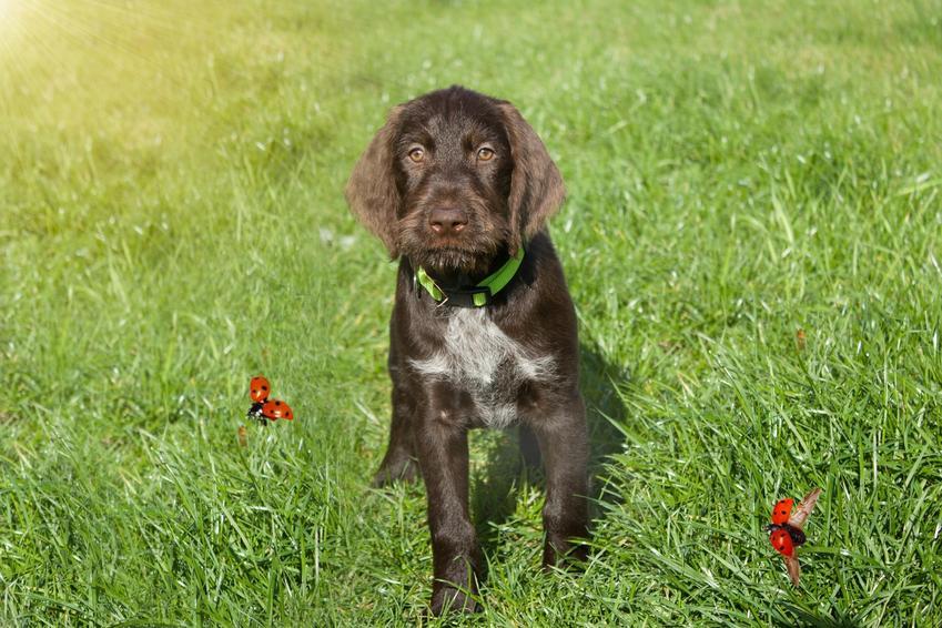 Pies myśliwski rasy czeski fousek siedzący w trawie, a także jego opis i hodowla