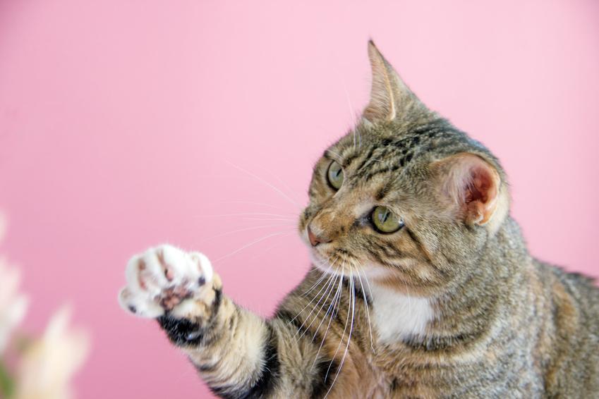 Kot machający łapką oraz informacje, jakiego zapachu nie lubią koty i co odstrasza koty
