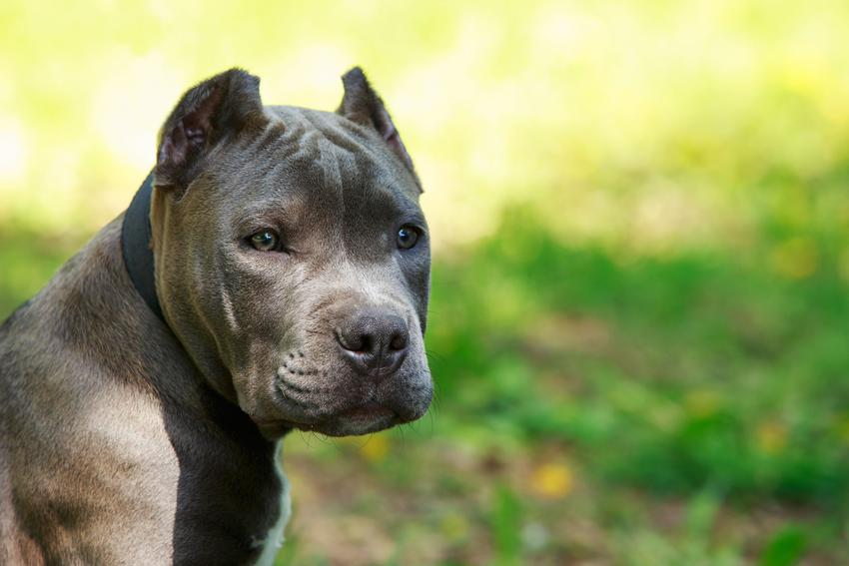 Pies amstaff podczas spaceru, a także opis amstaffa i opinie o amstaffie