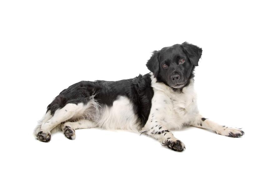 Pies rasy wyżeł fryzyjski na białym tle oraz jej charakter, hodowla i cena