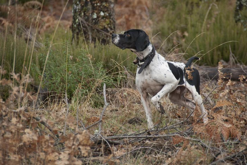 Pies rasy wyżeł fryzyjski w czasie spaceru, a także jego charakter i cena